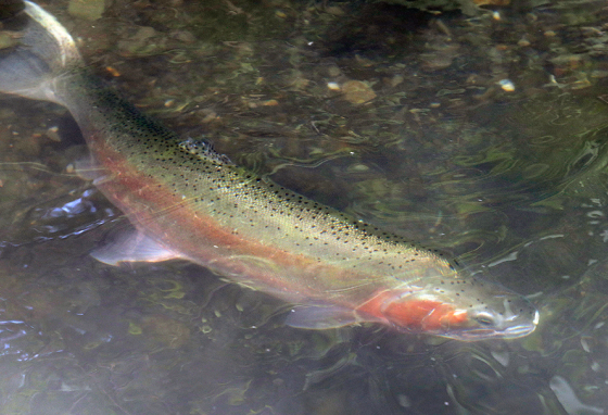 The dam removal should improve the habitat of fish like this steelhead.