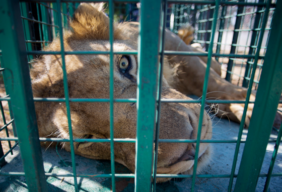 A lion lays inside a metal cage before being moved to a wildlife park in Jordan.