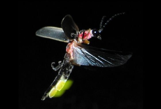 Caught in mid-flight, mid-flash—a lightning bug