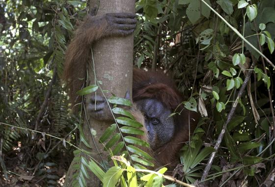 Untouched rainforests are the natural habitat of the orangutans. (AP)