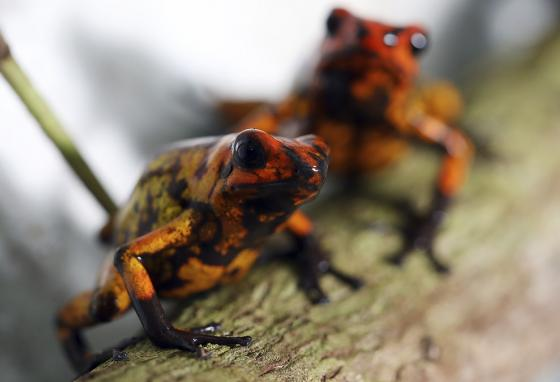 """Oophaga histrionica red head frogs stand inside the glass container where they are bred at the """"Tesoros de Colombia."""" (AP)"""