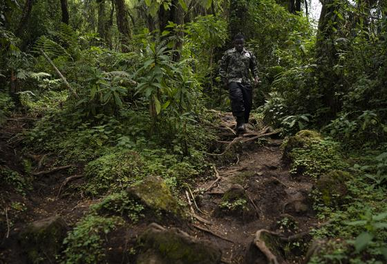 Biologist Jean Paul Hirwa walks down a trail to watch mountain gorillas. He is part of the world's longest-running study of the animals. (AP)