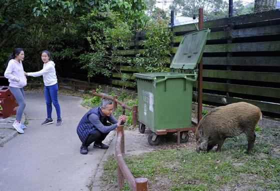 By the Chinese astrological calendar it is the year of the pig. But these wild pigs are not what people need roaming around Hong Kong. (AP)
