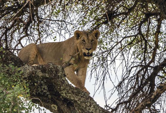 A young lion climbs down a tree in Tanzania's Tarangire National Park. (AP)