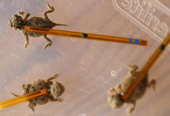 Baby horned lizards are tagged with  harmonic tracking devices that look cumbersome but are actually very lightweight. (AP)