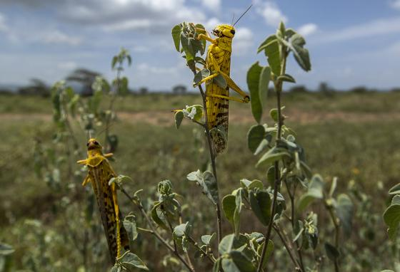 Desert locusts feed on plants in Nasuulu Conservancy, northern Kenya. (AP)