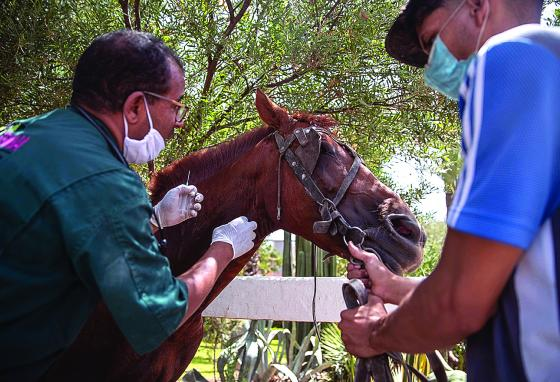 A doctor inspects a sick horse at the Society for the Protection of Animals Abroad (SPANA) shelter in Marrakech. Some owners struggle to feed their animals because of a lack of work. (AP)