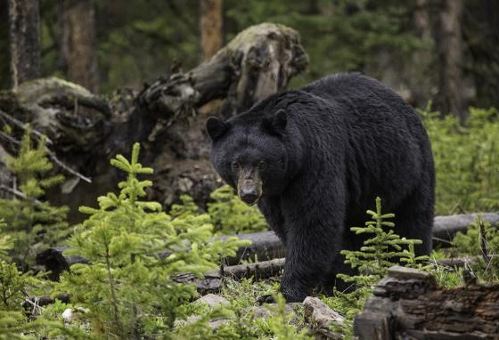 New Mexico's state mammal, the black bear. Its scientific name is Ursus americanus.