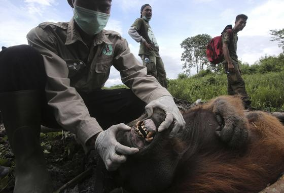 The rescue workers have to check the orangutans for illness before they release them back into the wild. (AP)