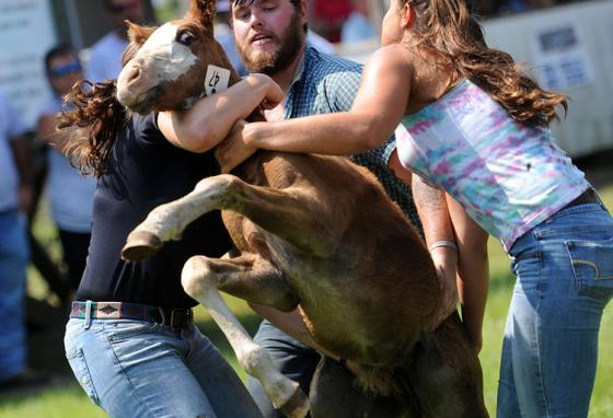 Wild ponies are hard to handle during the 91st annual Chincoteague Pony Auction. (AP)