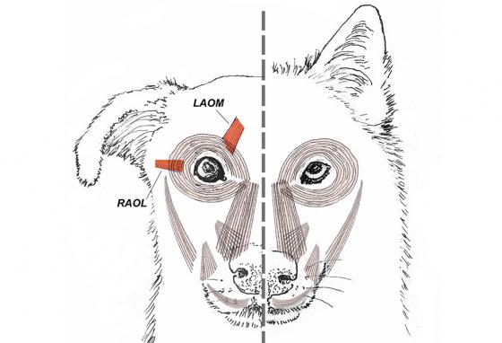 This diagram shows the muscles that make eyes expressive. Dogs have them (left) and wolves don't (right). (AP)