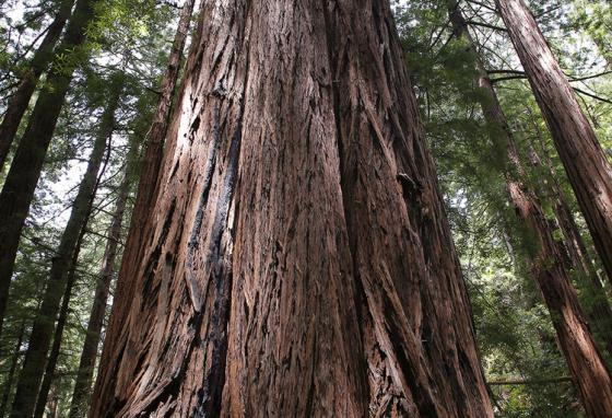 The tallest redwood tree in this forest, Muir Woods, is 777 years old. AP Photo