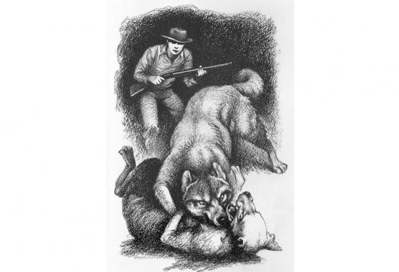 A wolf attacks in an illustration from the book Old Yeller.