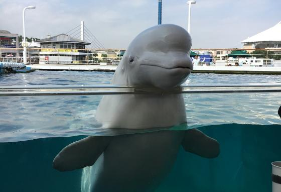 More than 300 beluga whales live in captivity. You might see one in an aquarium!