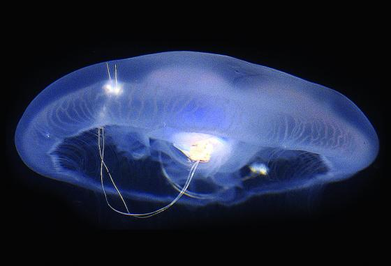 Wires embedded in the jellyfish stimulate its muscles to contract.