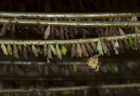 A butterfly emerges from its chrysalis at the Kipepeo Butterfly Project farm in Kenya. (AP)