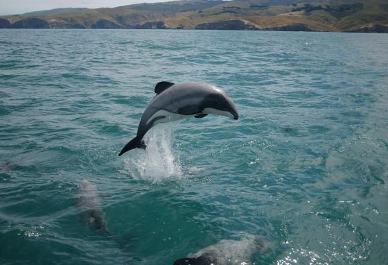 Scientists will use drones to study these endangered Maui dolphins. (Will Rayment/WWF-New Zealand)