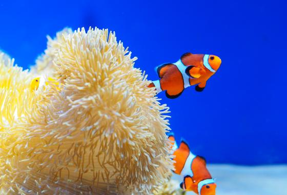 Male clownfish help take care of their eggs.