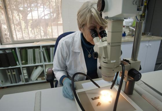 A researcher at the Israel Antiquities Authority studies Dead Sea Scroll fragments with a microscope. (AP)