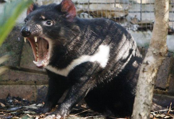 Tex snarls in his enclosure at Sydney's Taronga Zoo. Real Tasmanian devils are different from the cartoon character. (AP)