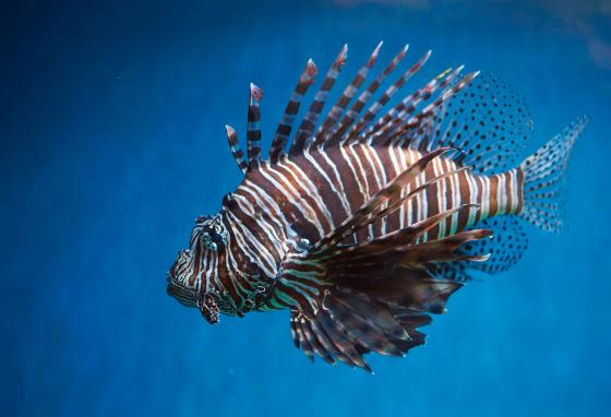 Lionfish naturally live in the South Pacific and Indian Oceans. But now there are populations in the Atlantic Ocean too.
