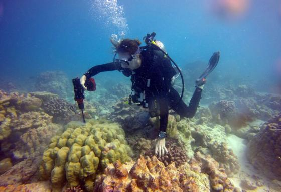 Scientist Kim Cobb examines coral and takes samples at the remote Pacific island of Kiritimati. Yellow coral is healthy, white is sick, and some other colors are actually algae covering dead coral. (AP)