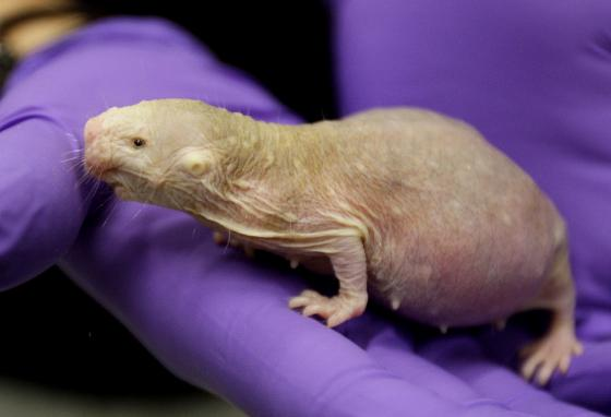 This naked mole-rat is going to have babies. (AP/Eric Gay)