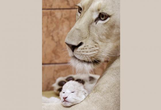 A two-day-old white lion cub plays with its mother, Sumba, at Belgrade Zoo in Serbia. (AP)