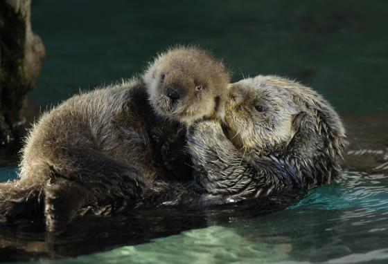 Aniak, a sea otter who lived to age 19 at the Seattle Aquarium, is shown swimming with her baby. (AP/Ted S. Warren)