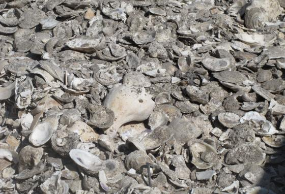 This pile of oyster, clam, and whelk shells is drying in the sunshine. The clean and dry shells will go back into the river. Free-floating baby oysters will attach to them and grow. (AP/Wayne Parry)