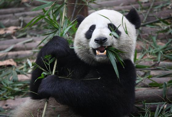 A panda's diet is mostly bamboo, from the shoots to the leaves. Pandas must eat a lot of it to get the energy they need.