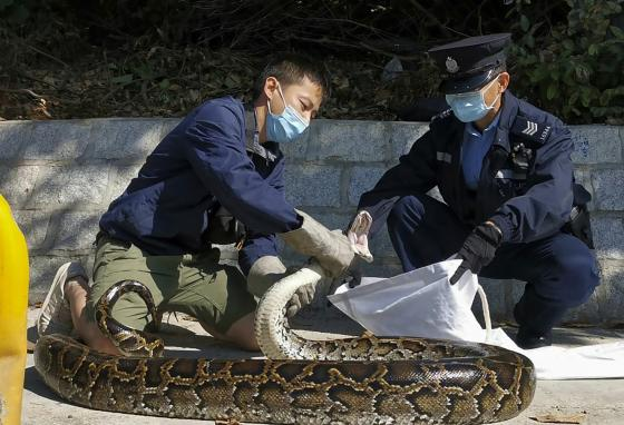 Ken Lee, left, puts the Burmese python that he has just grabbed into a cloth bag held by a policeman. (AP/Handout Ken Lee)