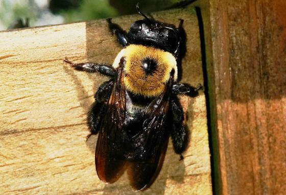 The carpenter bee drills holes in wood to lay its eggs.