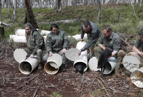 Tasmanian devils are released into the wild at Barrington Tops, Australia. Conservation group Aussie Ark planned the release effort. (AP)