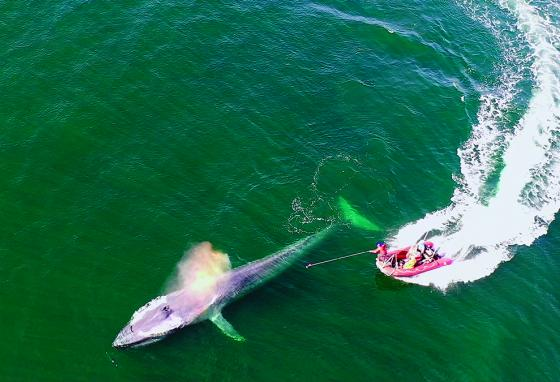 A blue whale being tagged in eastern Pacific (AP)
