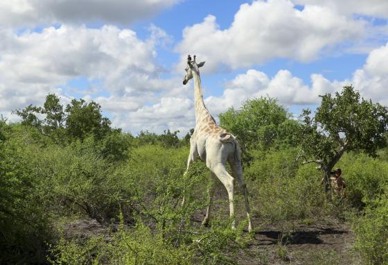 The GPS tracking device will help protect the giraffe from poachers as he grazes in the arid savanna in Kenya. Do you see the device on his horn? (AP)