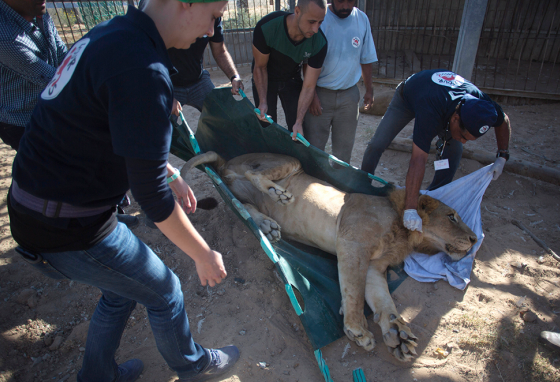 The lions were given medicine to make them sleepy so they could be handled safely.