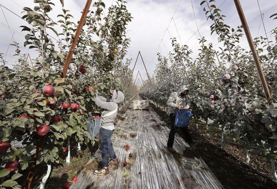 Edilia Ortega (left) and Reynaldo Enriquez pick Cosmic Crisp apples. The grayish coating is from kaolin clay, used to protect the fruit from sunburn. (AP)