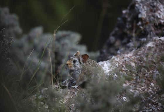 A Glover's Pika surveys its surroundings in western China's Qinghai province. (AP)