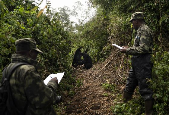Trackers Emmanuel Bizagwira (right) and Safari Gabriel watch two gorillas from the Agasha gorilla group. (AP)