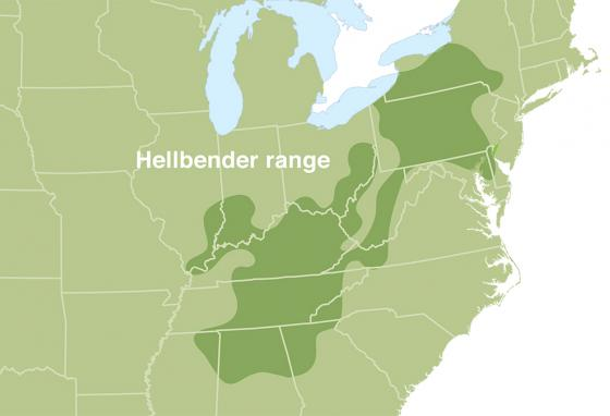 Hellbenders live in swift-flowing, rocky rivers and streams in the areas shown in dark green. (RB)