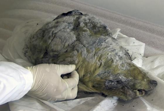 A researcher carefully inspects the head of an Ice Age wolf discovered in Russia's frozen north. (AP)