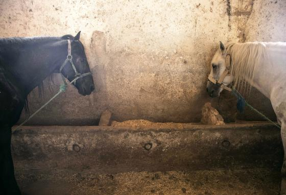 Horses rest in a stable. SPANA wants to help carriage owners. So it delivers feed to almost 600 horses in Marrakech. (AP)