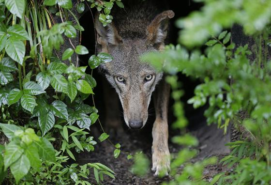 "This female red wolf can't make those ""sad puppy eyes"" like a dog can. (AP)"