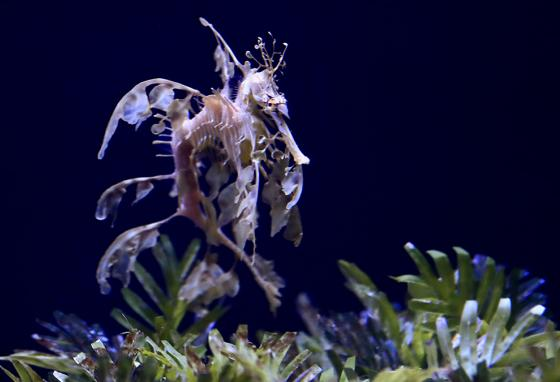 Native populations of sea dragons in Australia are affected by pollution and the illegal pet and alternative medicine trades. (AP)