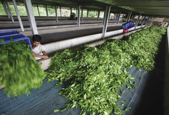 An Indian tea worker prepares plucked tea leaves for drying in India. (AP)