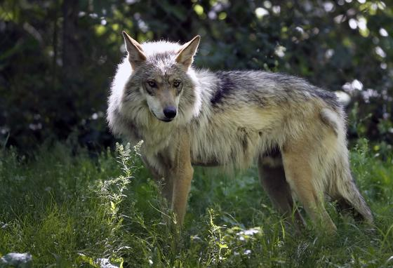 Mexican gray wolves like this one have been blamed for killing nearly as many cows and calves in the first four months of 2019 as they did all of last year. (AP)