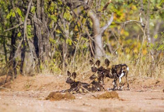 African wild dogs look after others in their pack.