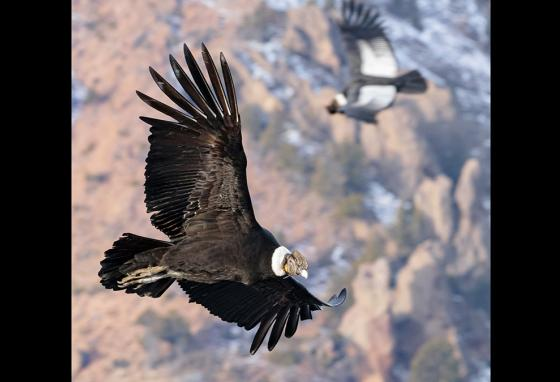 The condor, the world's largest soaring bird, rides air currents for hours without flapping. (AP)