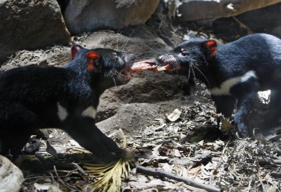 Tasmanian devil cubs fight over some meat during a feeding session. Like Taz, real Tasmanian devils seem to stay very hungry. (AP)